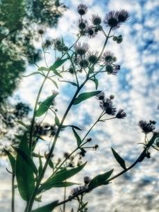 青空とヒメジョオンの写真素材 [FYI03451735]