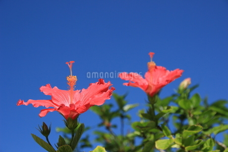 真夏の花の写真素材 [FYI03451797]