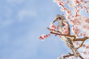 満開の梅の花とヒヨドリの写真素材 [FYI03451886]
