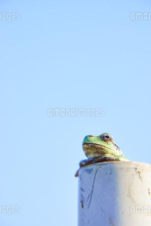 塩ビ管から顔を出すカエルの写真素材 [FYI03451890]