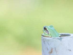 パイプから顔を出すアマガエルの写真素材 [FYI03451891]