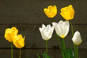 黄色と白のチューリップの写真素材 [FYI03452024]