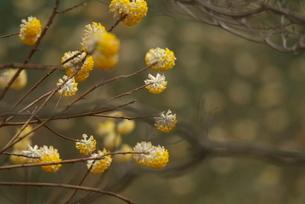 ミツマタの花の写真素材 [FYI03452025]