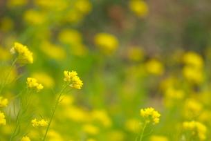 菜の花の写真素材 [FYI03452028]