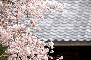 桜と瓦の写真素材 [FYI03452029]