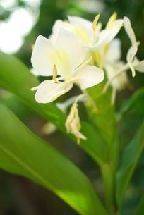 ジンジャーの花の写真素材 [FYI03452030]