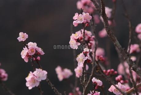 杏子の花の写真素材 [FYI03452038]