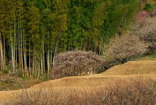 梅林と竹林の写真素材 [FYI03452047]