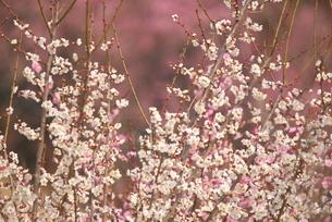 紅白の梅の写真素材 [FYI03452051]