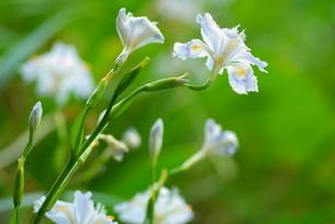 シャガの花の写真素材 [FYI03452052]
