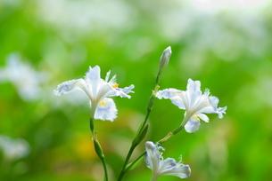 シャガの花の写真素材 [FYI03452054]