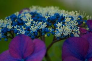 紫陽花の写真素材 [FYI03452056]