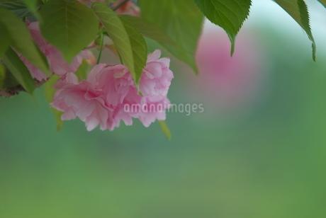 八重桜の写真素材 [FYI03452080]