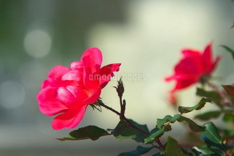 ヴェルニー公園のバラの写真素材 [FYI03452090]