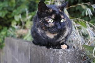 凝視する猫の写真素材 [FYI03452316]