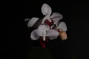 胡蝶蘭の写真素材 [FYI03452622]