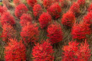 並んだ赤い木の写真素材 [FYI03452640]