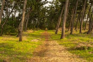鳥取県 弓ヶ浜にある防風林の様子の写真素材 [FYI03452801]