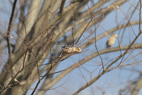 木の枝にとまるシメの写真素材 [FYI03452829]