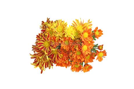 菊の花束の写真素材 [FYI03452831]