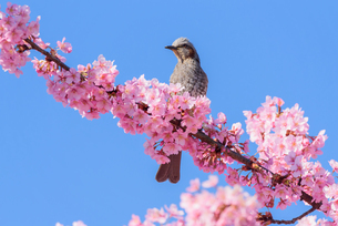 河津桜と野鳥(栃木県宇都宮市)の写真素材 [FYI03452849]