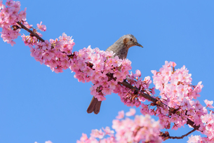 河津桜と野鳥(栃木県宇都宮市)の写真素材 [FYI03452850]