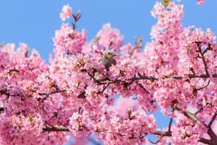河津桜と野鳥(栃木県宇都宮市)の写真素材 [FYI03452851]