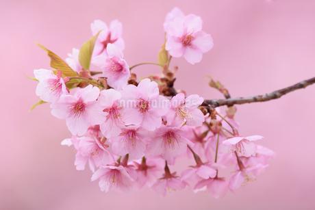 河津桜(栃木県宇都宮市)の写真素材 [FYI03452852]