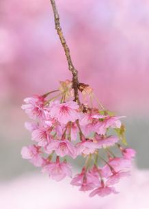 河津桜(栃木県宇都宮市)の写真素材 [FYI03452853]