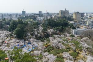 八幡山公園の桜(栃木県宇都宮市)の写真素材 [FYI03452861]