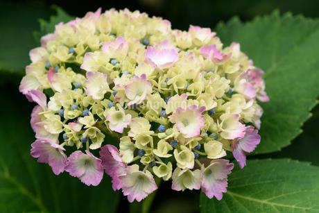 紫陽花の写真素材 [FYI03452870]