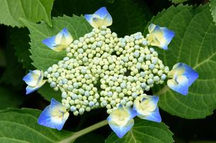 紫陽花の写真素材 [FYI03452871]