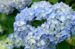 紫陽花の写真素材 [FYI03452875]