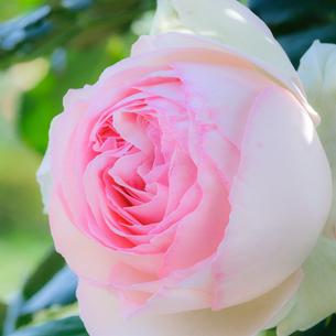 ピンク色のバラの花の写真素材 [FYI03452885]