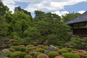 初夏 京都 等持院の松の写真素材 [FYI03452886]