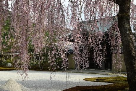 春 京都 高台寺の枝垂れ桜の写真素材 [FYI03452887]