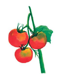 水彩 トマト 葉付きのイラスト素材 [FYI03452956]