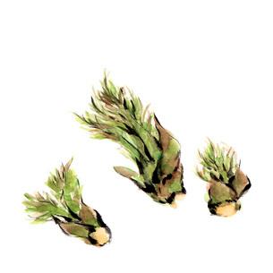 水彩 タラの芽 春野菜のイラスト素材 [FYI03452965]