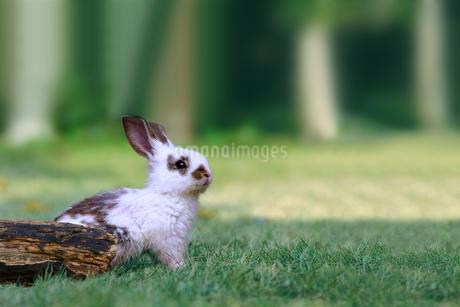 草地で遠くをみつめる白い子ウサギ1匹。自然,小動物,ペット,癒し,リラックスイメージの写真素材 [FYI03453122]