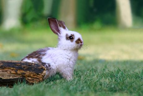 草地で遠くをみつめる白い子ウサギ1匹。自然,小動物,ペット,癒し,リラックスイメージの写真素材 [FYI03453123]