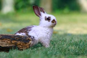 草地で遠くをみつめる白い子ウサギ1匹。自然,小動物,ペット,癒し,リラックスイメージの写真素材 [FYI03453124]