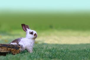 草地で遠くをみつめる白い子ウサギ1匹。自然,小動物,ペット,癒し,リラックスイメージの写真素材 [FYI03453125]
