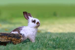 草地で遠くをみつめる白い子ウサギ1匹。自然,小動物,ペット,癒し,リラックスイメージの写真素材 [FYI03453126]