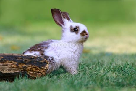 草地で遠くをみつめる白い子ウサギ1匹。自然,小動物,ペット,癒し,リラックスイメージの写真素材 [FYI03453127]