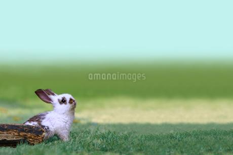 草地で遠くを見上げる白い子ウサギ1匹。自然,小動物,ペット,癒し,リラックス,夢,希望イメージの写真素材 [FYI03453129]