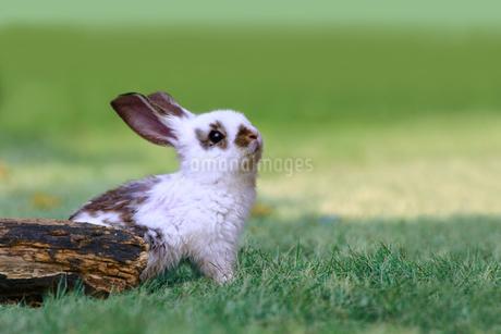 草地で遠くを見上げる白い子ウサギ1匹。自然,小動物,ペット,癒し,リラックス,夢,希望イメージの写真素材 [FYI03453130]