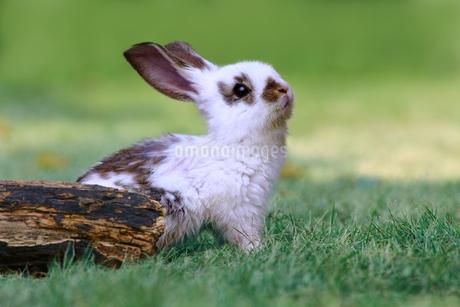 草地で遠くを見上げる白い子ウサギ1匹。自然,小動物,ペット,癒し,リラックス,夢,希望イメージの写真素材 [FYI03453131]