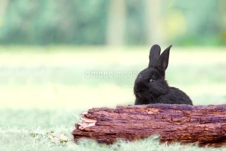 草地の倒木からカメラ子供の黒ウサギ1匹。自然,小動物,ペット,癒し,リラックスイメージの写真素材 [FYI03453132]