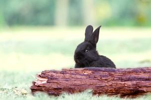草地の倒木からカメラ子供の黒ウサギ1匹。自然,小動物,ペット,癒し,リラックスイメージの写真素材 [FYI03453133]