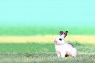 草地で遠くをみつめる白い子ウサギ1匹。自然,小動物,ペット,癒し,リラックスイメージの写真素材 [FYI03453135]